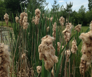 cattails, pond, and cattail image