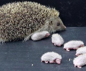 hedgehog, baby, and animal image