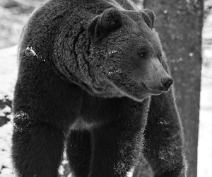 bear, black and white, and snow image