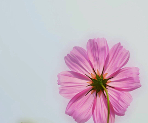 flower, pink, and wallpaper image