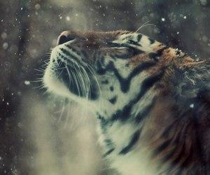tiger, animal, and snow image