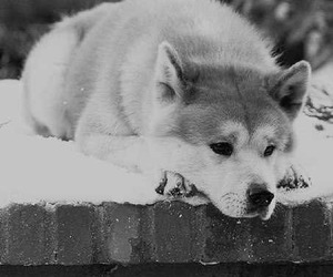 dog, hachiko, and black and white image