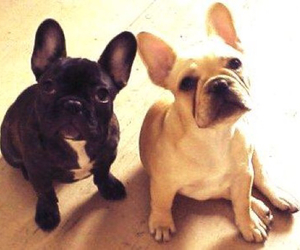 french bulldog, puppy, and cute image