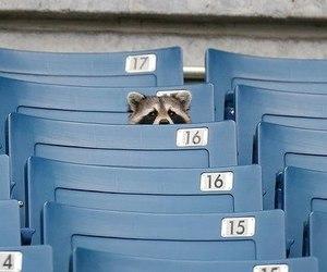 raccoon, blue, and animal image