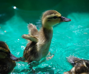 cute and duck image