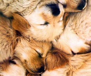 background, golden retriever, and puppies image