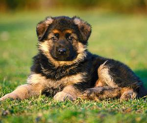 puppy, dog, and german shepherd image