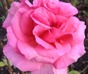 bild, blomma, and pink image