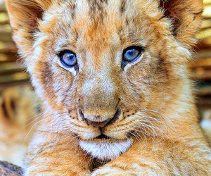 beautiful and lion cub image