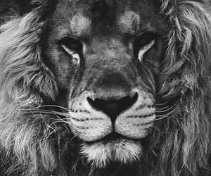 lion and wallpaper image