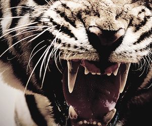 cool, photography, and tiger image