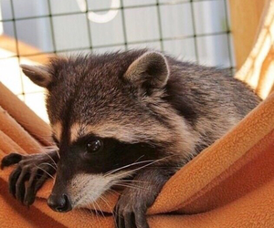 baby animals, raccoon, and cute image
