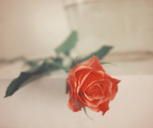 photography, rose, and love image