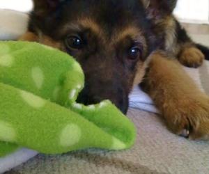 dog and german shepherd image