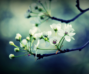 blossoms, cherry tree, and flowers image