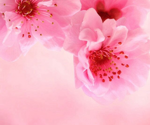 beatiful, flowers, and pink image