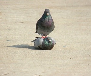funny and pigeon image