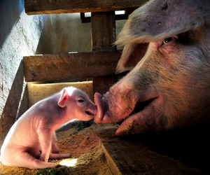 baby animals, piglet, and pigs image
