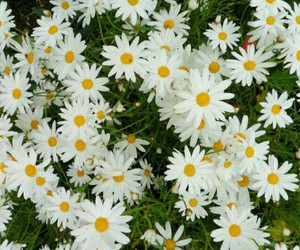 daisy, flowers, and girly image