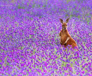 flowers and kangaroo image