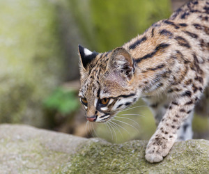 the little spotted cat image