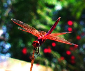 dragonfly, insect, and red image