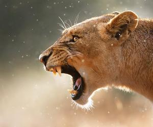 animal, lion, and roar image