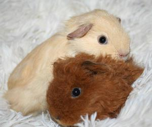 cream, guinea pig, and zoella sugg image