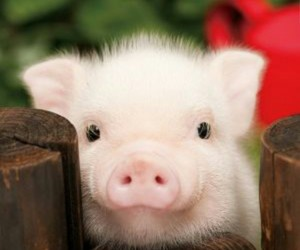 cute small pink pig image