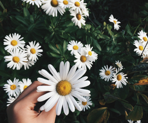 daisy, flowers, and nature image