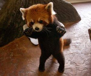 cute, Red panda, and animal image