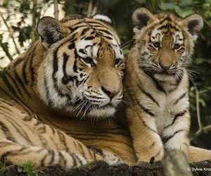 cats, endangered, and tiger image