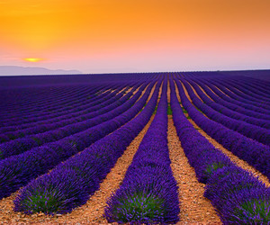 field, lavender, and beautiful image