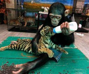 lol, tigre, and love image