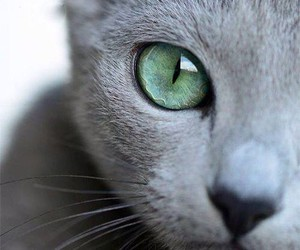 cat, russian blue cat, and cats image