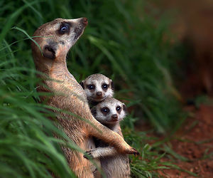 animal, family, and meerkat image