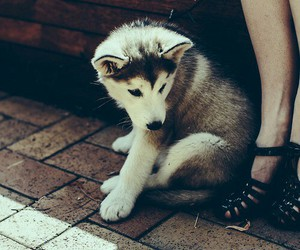 dog, husky, and grunge image