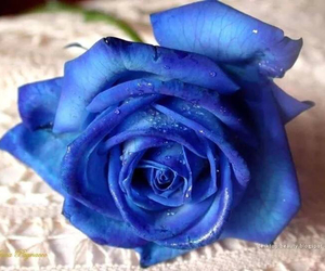 rose, beauty, and blue image