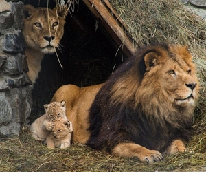 lion, family, and animal image