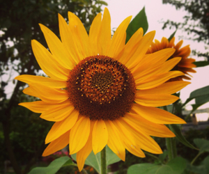heart, summer, and sunflower image