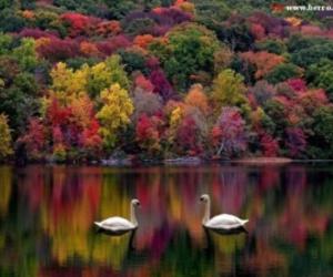 autumn, beautiful, and Swan image