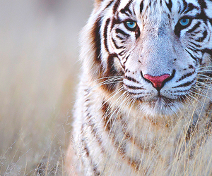 background, tiger, and white image