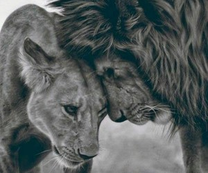 cute couple, lion, and cute image