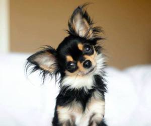 cute, chihuahua, and dog image