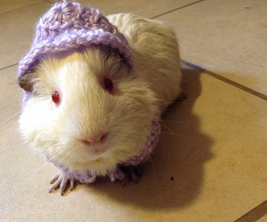 adorable, guineapigs, and animals image