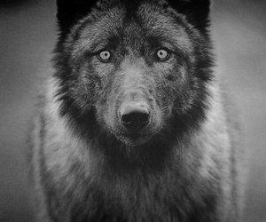 animal, beautiful, and wolf image