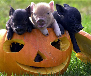 pig, cute, and pumpkin image