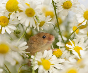 mouse, flowers, and animal image
