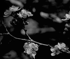 black and white, chery, and flower image