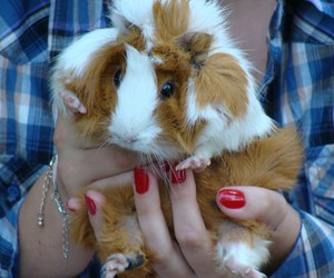 guinea pig, nails, and sweety image